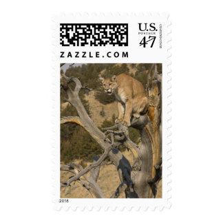 Mountain Lion, aka puma, cougar; Puma concolor, 2 Postage Stamp