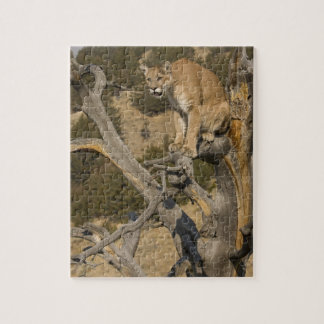 Mountain Lion, aka puma, cougar; Puma concolor, 2 Jigsaw Puzzle