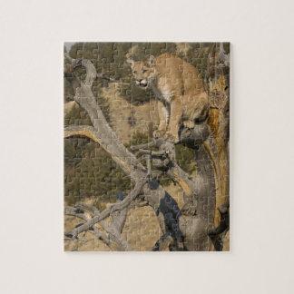 Mountain Lion, aka puma, cougar; Puma concolor, 2 Puzzles