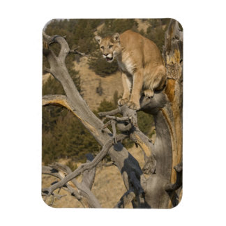 Mountain Lion, aka puma, cougar; Puma concolor, 2 Rectangular Photo Magnet
