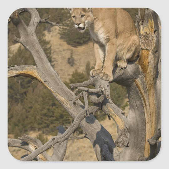 Mountain Lion, aka puma, cougar; Puma concolor, 2 Square Sticker
