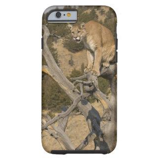 Mountain Lion, aka puma, cougar; Puma concolor, 2 Tough iPhone 6 Case