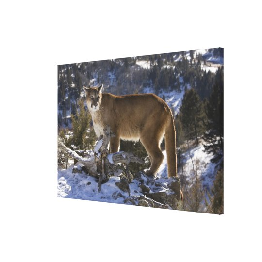 Mountain Lion, aka puma, cougar; Puma concolor, Canvas Print