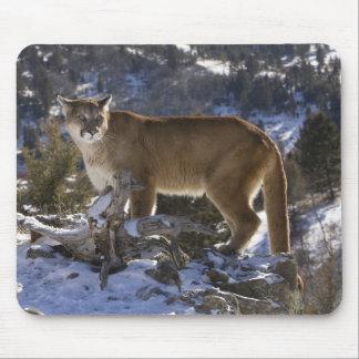 Mountain Lion, aka puma, cougar; Puma concolor, Mouse Pad
