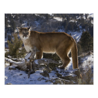 Mountain Lion, aka puma, cougar; Puma concolor, Poster