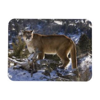 Mountain Lion, aka puma, cougar; Puma concolor, Rectangular Photo Magnet