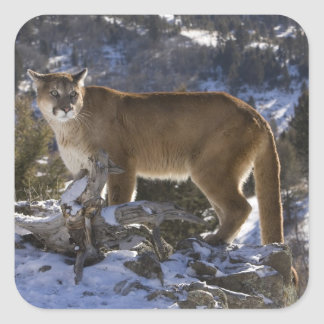 Mountain Lion, aka puma, cougar; Puma concolor, Square Sticker