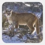 Mountain Lion, aka puma, cougar; Puma concolor, Square Sticker