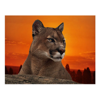 Mountain lion at sunset post card