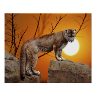 Mountain lion at sunset rock posters