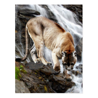 Mountain lion at the waterfall post card