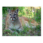 Mountain Lion Complaining Postcard