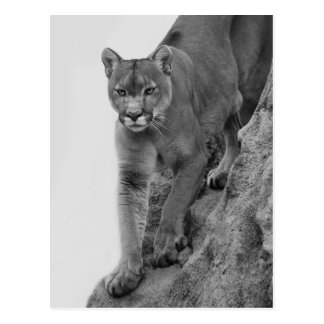 Mountain Lion in Black and white Post Card