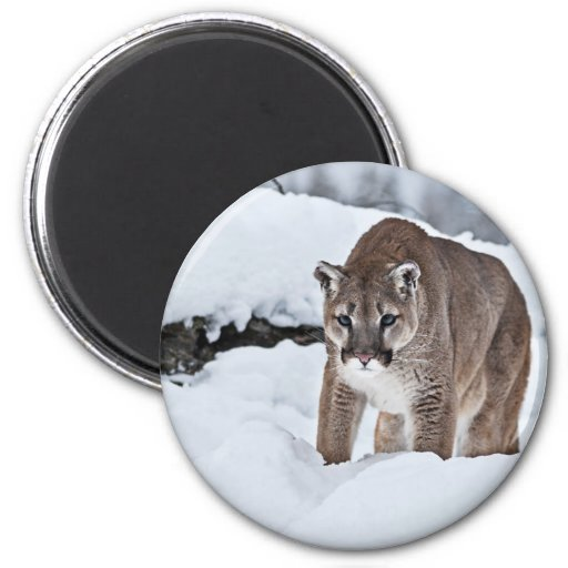 Mountain Lion in the Snow Fridge Magnets