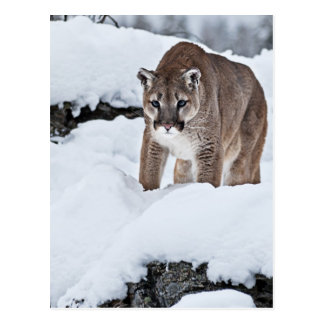 Mountain Lion in the Snow Postcard