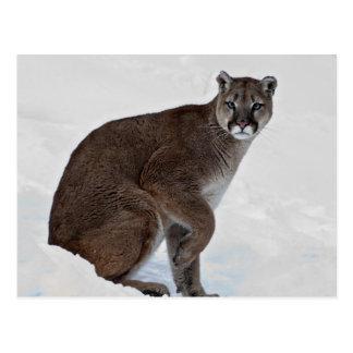 Mountain Lion on the Go Postcard