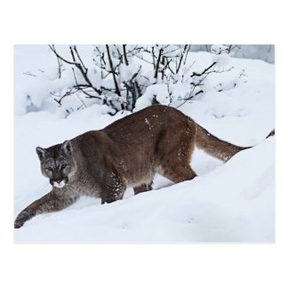 Mountain Lion on the Hunt Postcard