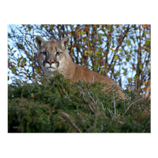 Mountain Lion on the Lookout Postcard