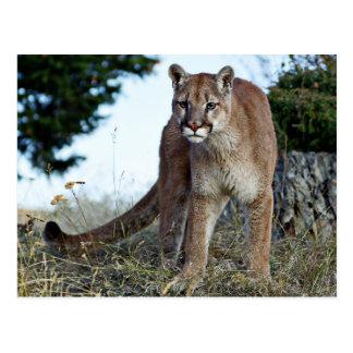 Mountain Lion on the Mountain Postcard
