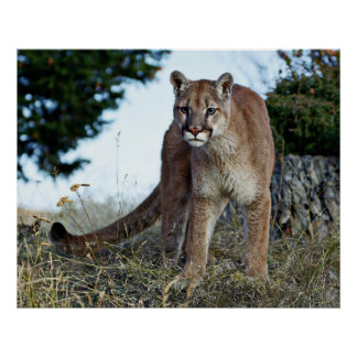 Mountain Lion on the Mountain Poster