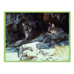 Mountain Lion Post Cards