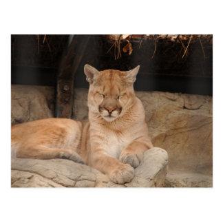 Mountain Lion Postcard