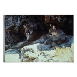 Mountain Lion Posters