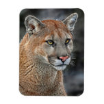 Mountain Lion Snow Fall Magnets