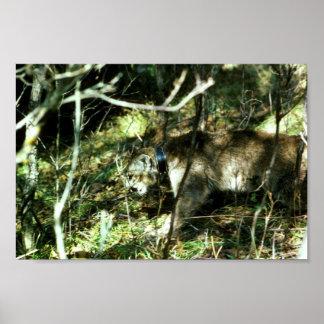 Mountain Lion with Radio Collar Poster