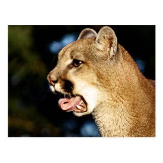 Mountain Lion Yawn Postcard