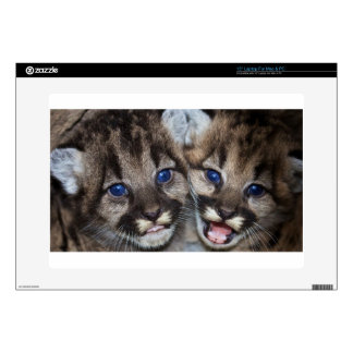 mountain-lions