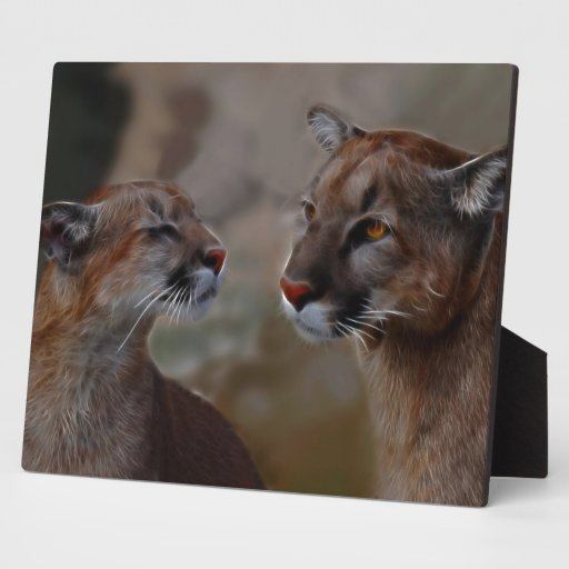 Mountain lions in love photo plaques