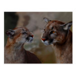 Mountain lions reverence postcard