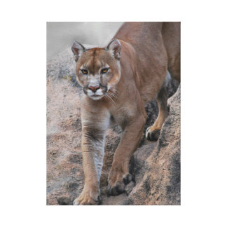 Mountain lions rock climbing canvas print