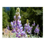 Mountain Lupins at Yosemite Postcard