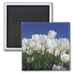 Mountain of Tulips on a perfect blue sky Fridge Magnets