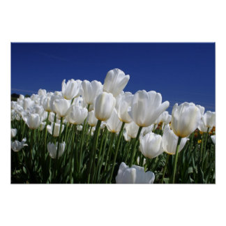 Mountain of Tulips on a perfect blue sky Poster