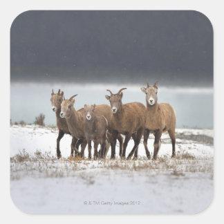 Mountain Sheep Family Sticker