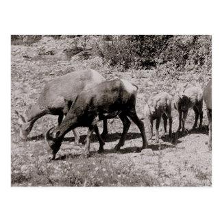 Mountain sheep post card