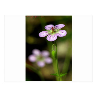 mountain wildflower postcards