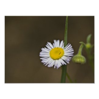 Mountain Wildflower Posters