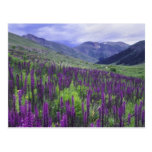 Mountains and wildflowers in alpine meadow, 2 postcard