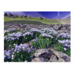Mountains and wildflowers in alpine meadow, postcard