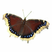 Mourning Cloak butterfly ~ acrylic Statuette