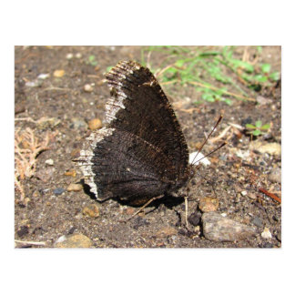 Mourning Cloak Butterfly ~ postcard