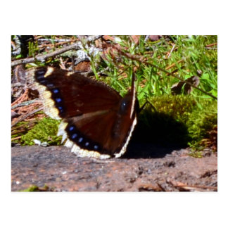 Mourning Cloak Butterfly Upclose Postcard