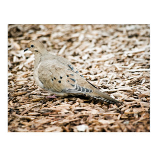 Mourning Dove 3 Postcard