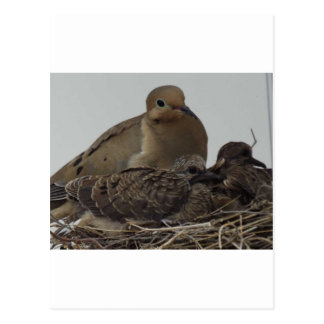 Mourning Dove Family Postcard