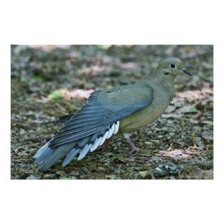 Mourning Dove Fans Wing and Tail Poster