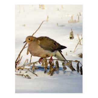 Mourning Dove in Snow Photo Postcard